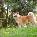 Fotos Akita Inu - Fotografo de Caes