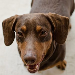 Fotógrafo de cães: Dachshund