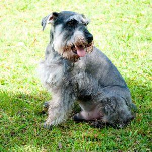 Schnauzer: cão pequeno e adorável