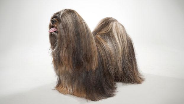 Lhasa Apso: cães alegres e inteligentes