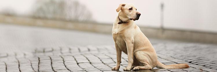 adotar cachorro